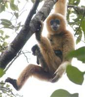 http://www.gibbonconservation.org/03_threats/5hainanus.jpg